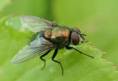 housefly Стоковое Изображение RF