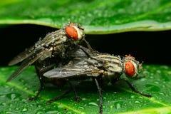 Housefly breeding Royalty Free Stock Photos
