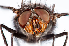 Housefly close-up. Royalty Free Stock Photo