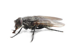 Housefly closeup on white Royalty Free Stock Photography