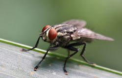 Housefly Stock Photos