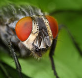 Housefly face close portrait macro Royalty Free Stock Photography