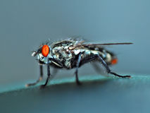 Housefly fly. Royalty Free Stock Photography