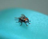 Housefly fly. Royalty Free Stock Images