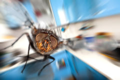 Housefly  Flying in kitchen Stock Image