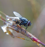 Housefly on a grass twig Stock Photos