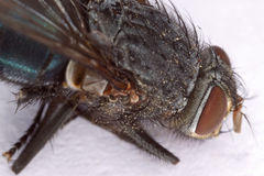 Housefly Head Macro Royalty Free Stock Photography