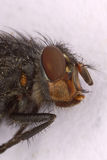 Housefly Head Macro Stock Photo