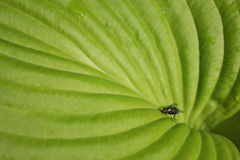Housefly On Hosta Royalty Free Stock Photo