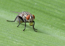 Housefly. Image of common housefly with waterdroplet Royalty Free Stock Photos