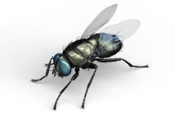 Housefly, insect isolated on white with clipping path Stock Images