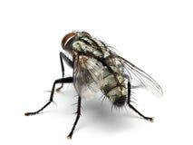 Housefly isolated on white background. stock photos