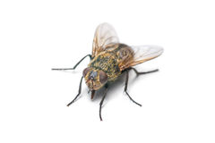 Housefly isolated on white Stock Photo