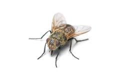 Housefly isolated on white Stock Photo