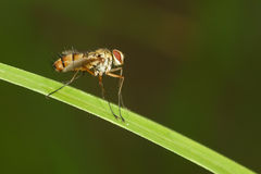 Housefly. The lateral close-up of a housefly on grass leaf stock photo