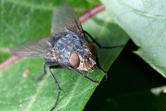 Housefly on leaf plants Royalty Free Stock Images