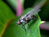 Housefly on leaf plants Stock Photography