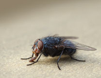 Housefly macro closeup Royalty Free Stock Photo