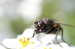 Housefly macro Stock Photos