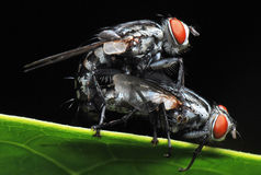 Housefly Mating Royalty Free Stock Image