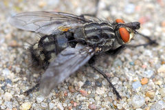 Housefly - mucha. Housefly resting on the small rocks Royalty Free Stock Images