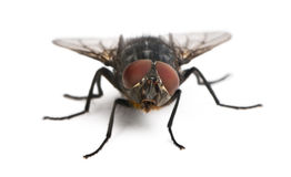 Housefly, Musca domestica stock photography