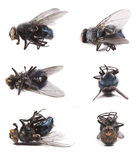 Housefly, Musca domestica. Set of housefly macro shots Stock Photos