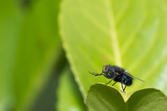 Housefly (Musca domestica) cleaning its feet Stock Images