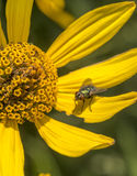 Housefly, Musca domestica Stock Images