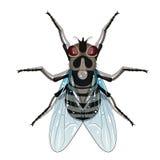Housefly, Musca domestica Stock Photo