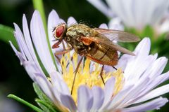 Housefly na kwiacie zdjęcia royalty free