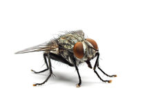 Housefly odizolowywający na białym tle Obraz Stock