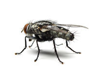 Housefly odizolowywający na białym tle Zdjęcie Stock