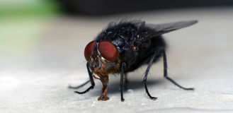Housefly Royalty Free Stock Photos