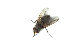Housefly with red eyes Stock Photography