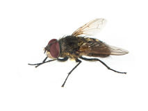 Housefly with red eyes Stock Photos