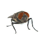 Housefly with red eyes Royalty Free Stock Photography