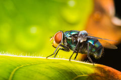 Housefly resting on green leaf Royalty Free Stock Photography