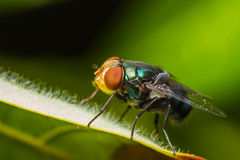 Housefly resting on green leaf Stock Photography