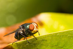 Housefly resting on green leaf Royalty Free Stock Images