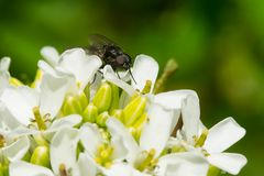 Housefly - Musca domestica. A Housefly is resting nside a garlic mustard flower. Rosetta McClain Gardens, Toronto, Ontario, Canada Royalty Free Stock Photos