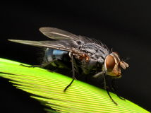 Housefly side. A housefly in macro attached to a spring from an amazon parrot Royalty Free Stock Images