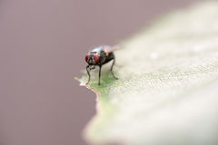 Housefly sunning on a leaf, drinking water Royalty Free Stock Image