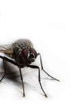 Housefly2 foto de stock royalty free