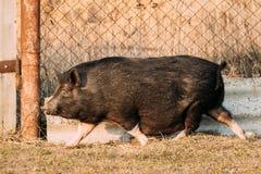 Household Black Pig Running In Farm Yard. Pig Farming Is Raising Stock Images
