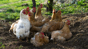 Household chickens. Enjoying the life outdoor Stock Photos