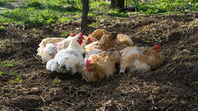 Household chickens royalty free stock images