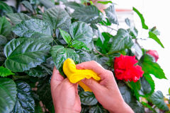 Household concept of takes care of indoor plants. Adult female hands wipes a rag a blooming hibiscus plant. on her balcony. Select Stock Photo