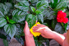 Household concept of takes care of indoor plants. Adult female hands wipes a rag a blooming hibiscus plant. on her balcony. Select Royalty Free Stock Photography