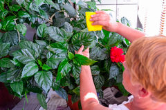 Household concept of takes care of indoor plants. Adult female hands wipes a rag a blooming hibiscus plant. on her balcony. Select Royalty Free Stock Photos